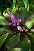 Ti plant, Hawaii