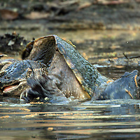 Male common snapping turtles (Chelydra serpentina) fighting.  Beidler Forest, South Carolina