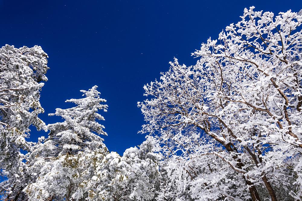 Snow dusted pines in the San Bernardino Mountains, San Bernardino National Forest, California USA