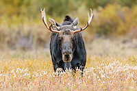 Moose [Alces alces] bull approaching, during rutting season; Grand Teton NP., Wyoming