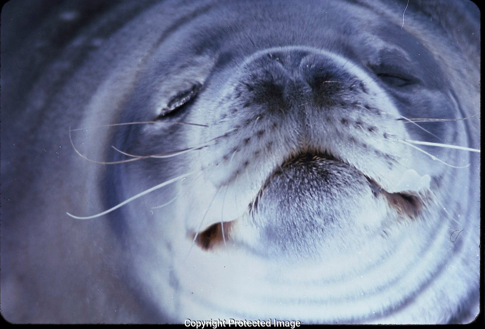 A face of a smiling Antarctic Seal