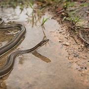 Rainbow Water Snake (Enhydris enhydris) in Na Yong, Trang, Thailand