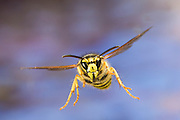 A yellowjacket (Vespula sp) in flight near Ochoco Pass in Central oregon. photographed with a high-speed camera.