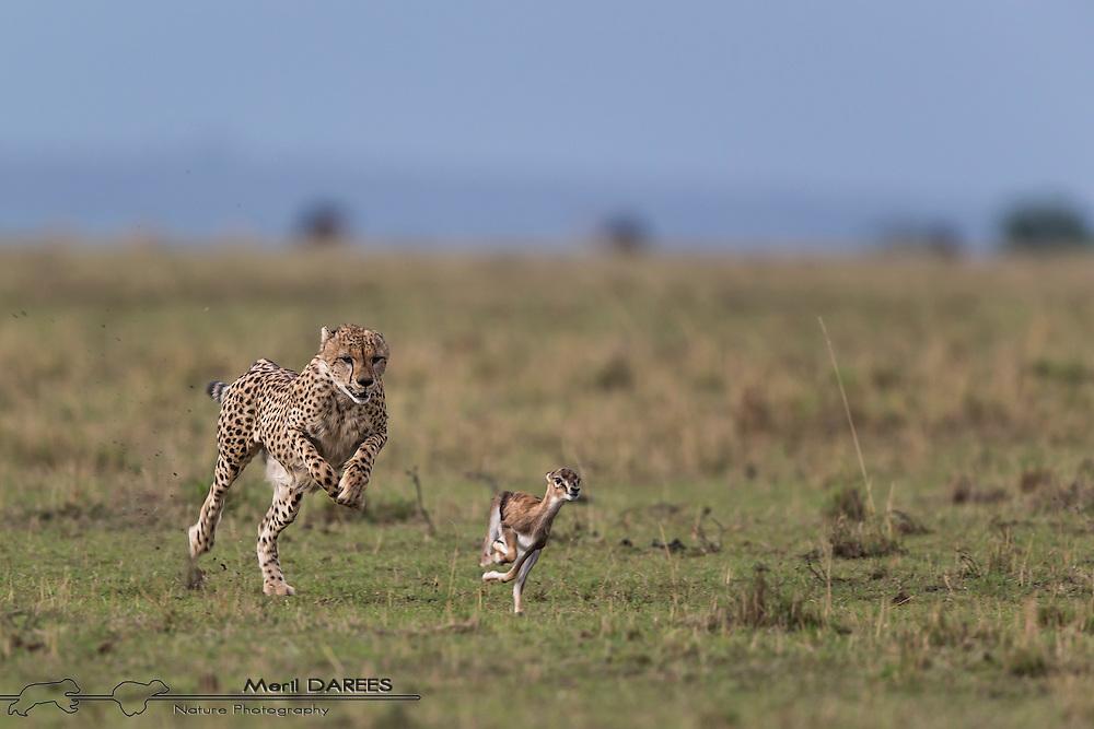 Cheetah hunting a baby gazelle. Masai Mara, Kenya.