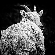 An insouciant Bighorn Sheep ewe.  Take near Miller Butte outside of Jackson Hole, WY.