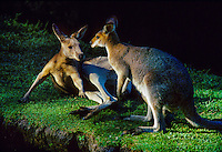 Kangaroos, Currumbin Sanctuary, Gold Coast, Queensland, Australia