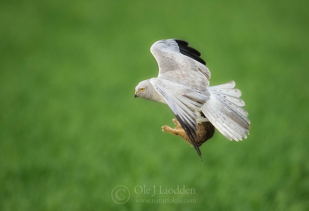 Montagu´s Harrier (Circus pygargus) in flight with a fresh kill, Netherland