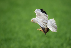 Montagu´s Harrier (Circus pygargus) in flight with a fresh kill, Netherland