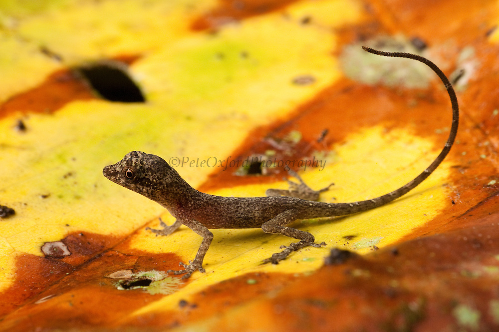 Anole Lizard (Anolis sp)<br /> Napo River bordering Yasuni National Park, Amazon Rainforest<br /> ECUADOR. South America