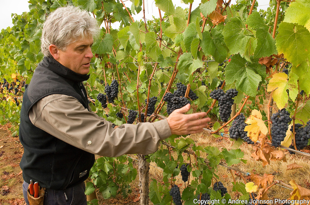 Ken Wright tests the ripeness of pinot noir grapes to determine harvest schedule, Willamette Valley, Oregon