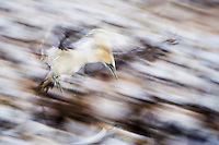 Cape Gannet returning to roost at dusk, Malgas Island, Western Cape, South Africa