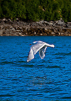 Sea Gull flying low over blue water near shore, Alaska. Wildlife and nature photography prints, stock image
