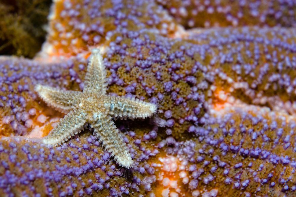 Common starfish, Asterias rubens<br /> Atlantic marine life, Saltstraumen, Bod&ouml;, Norway