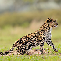 Leopard (Pathera pardus) is a stealthy big cat that ambushes prey from a close distance. Here, its staking prey in Masai Mara.