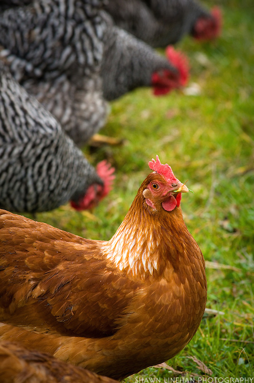 This is a Red Sex Link Hen. The sex part of the name refers to gender.