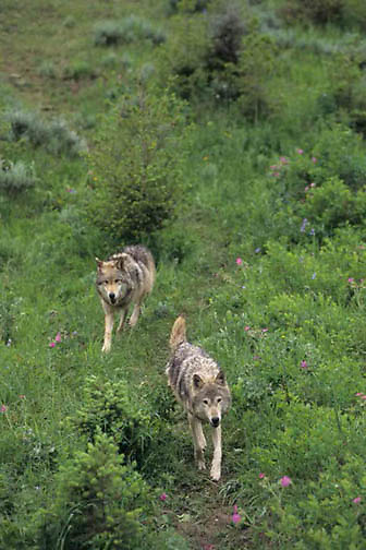 Gray Wolf, (Canis lupus) Pair of adult wolves. Rocky mountains. Montana.  Captive Animal.