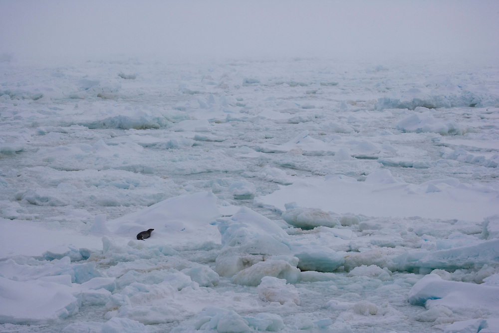 Feb 7, 2007. Ross Sea. Southern Ocean. A Crabeater Seal (Lobodon carcinophaga) moves atop sea ice in the Ross Sea.