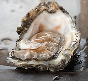 Raw oysters from Louisiana.