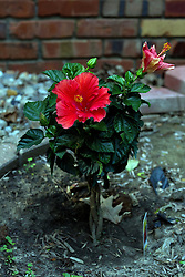 09 June 2014:  Red Hibiscus Bloom.