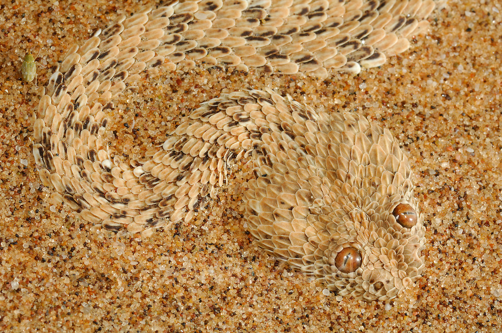 Die Zwergpuffotter, oder Peringuey-Wuestenotter, (Bitis peringueyi) gehört zu den Vipern und lebt nur in der Namib-Wüste und einigen angrenzenden Gebieten. Mit einer maximalen Länge von 30 Zentimetern gehört sie zu den zwei kleinsten Arten ihrer Gattung, der Puffottern. Die Hitze des Tages verschläft sie eingegraben im Sand, oft an schattigen Stellen neben Dünengras oder Büschen. Nachts und in der Dämmerung ist die Schlange aktiv und jagt auf den Dünenhängen nach kleineren Reptilen und gelegentlich auch Nagetieren wie der Wüsten-Rennmaus. Die Zwergpuffotter hat einen recht plump wirkenden Körper und der breite, abgeflachte Kopf trägt nach oben gerichtete Augen. Zuweilen lauert die Schlange mit Sand bedeckt auf Beute. Dabei ragen nur die farblich an den Sand angepassten Augen und Nasenöffnungen sowie die bei vielen Individuen schwarz gefärbte Schwanzspitze aus dem Sand. Nähert sich ein potentielles Beutetier wird die Schwanzspitze als Köder bewegt. Die arglose Beute wird, sobald sie in Reichweite der vorschnellenden Schlange kommt, mit sicherem Biß gepackt. Hat das Gift der Zwergpuffotter das Beutetier bewegungsunfähig gemacht, ertastet die Schlange dessen Vorderende und verschlingt es in einem Stück.   Peringueys Sidewinding adder (Bitis peringueyi)