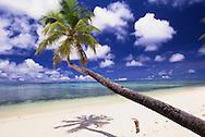 A dog walks under a coconut tree on the beach, Marshall Islands / Majuro Atoll
