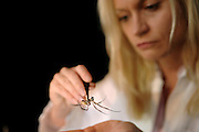 Professor Dr. Christine Radtke carefully fixes a Golden Silk Orbweaver (Nephila clavipes) to a soft pad to obtain spider silk. | Behutsam fixiert Professorin Dr. Christine Radtke eine Goldene Radnetzspinne (Nephila clavipes), um die Spinnenseide zu gewinnen.
