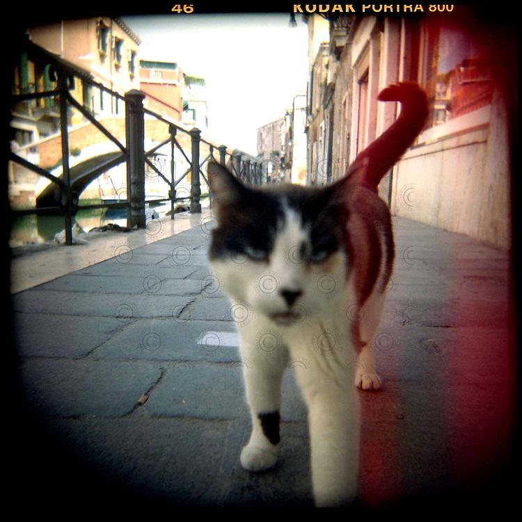 Italie, Venise, Castello..Un des nombreux chat venitien se promène dans une ruelle..© Jean-Patrick Di Silvestro