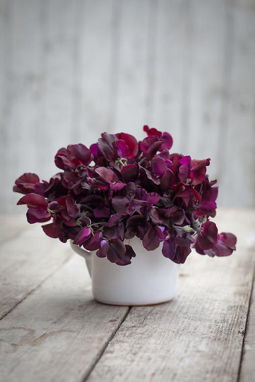 Lathyrus odoratus 'Beaujolais' - sweet pea arrangement in small white jug