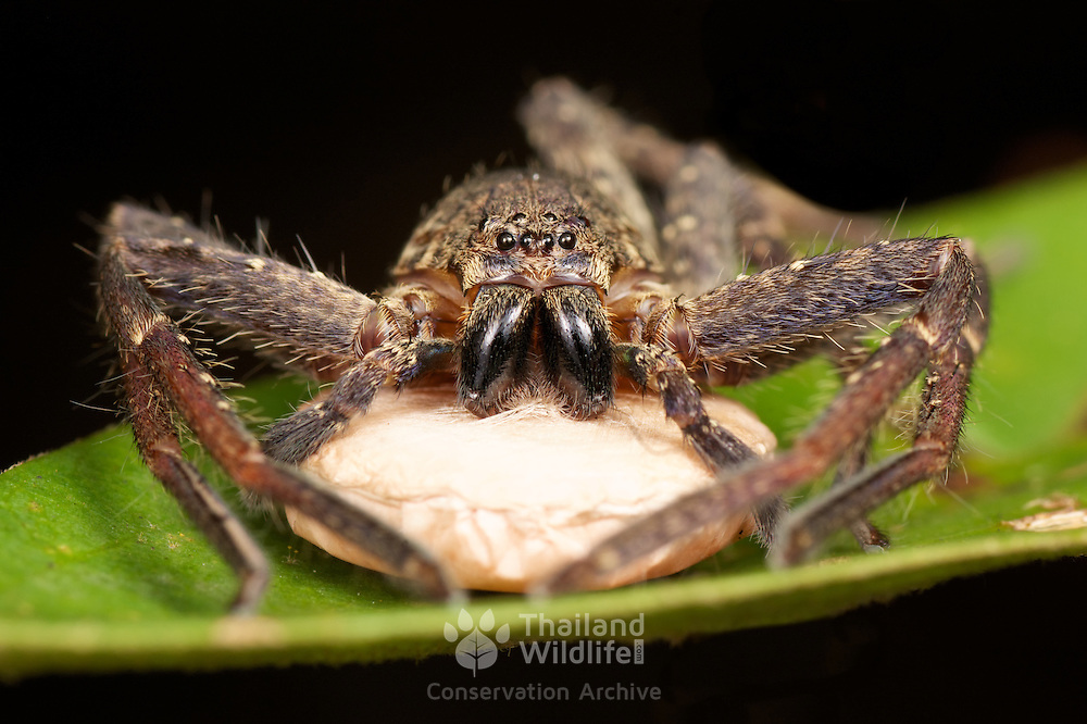Huntsman Spider (Sparassidae) with egg sac. Sparassidae (formerly Heteropodidae) are a family of spiders known as huntsman spiders because of their speed and mode of hunting.