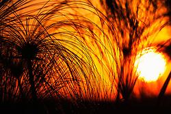 Silhouette of papyrus during sunset, Okavango Delta, Botswana,Africa