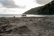 A dog searches for Leatherback Sea Turtle, Dermochelys coriacea, eggs and hatchlings at sunrise on Grand Riviere, Trinidad. During peak nesting season in late May / early June, this beach will receive roughly 300 nesting Leatherback every night, making it one of the busiest and most important nesting locations in the world for the critically endangered species.