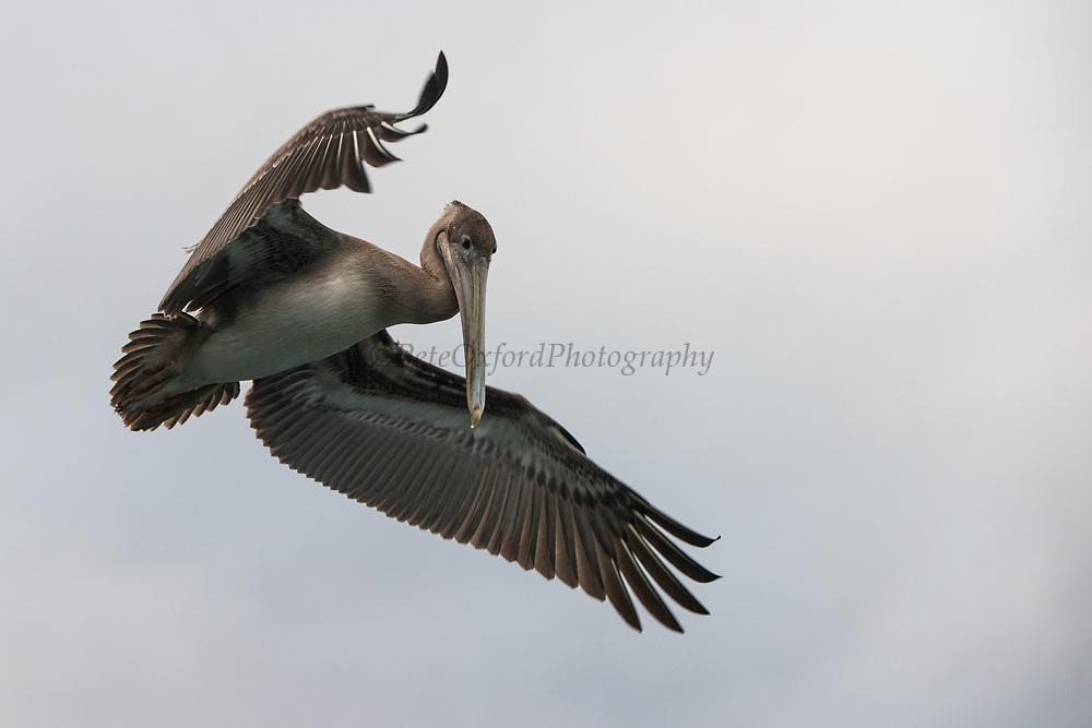 Brown Pelican (Pelecanus occidentalis urinator)<br /> Punto Moreno, Isabela Island<br /> Galapagos<br /> Ecuador,  South America
