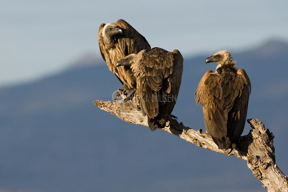 African White-backed Vultures (Gyps africanus) from Samburu National Reserve, Kenya.