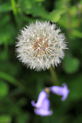 A dandelion see head at the London Wetland Centre, Barnes, London