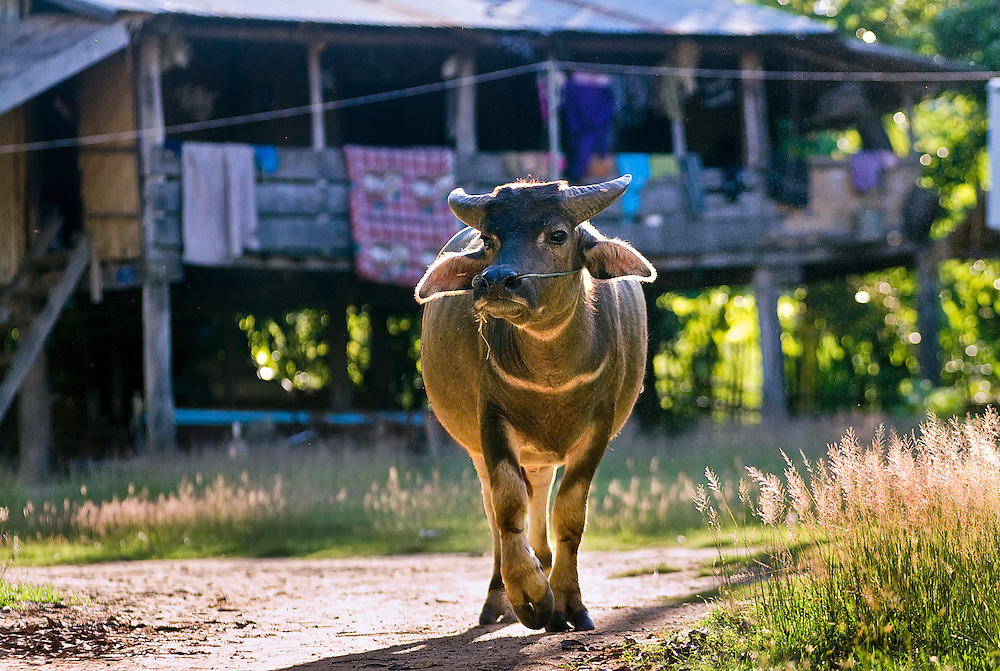 A water buffalo saunters down a path at Tham Lot Khong Lo, Laos.