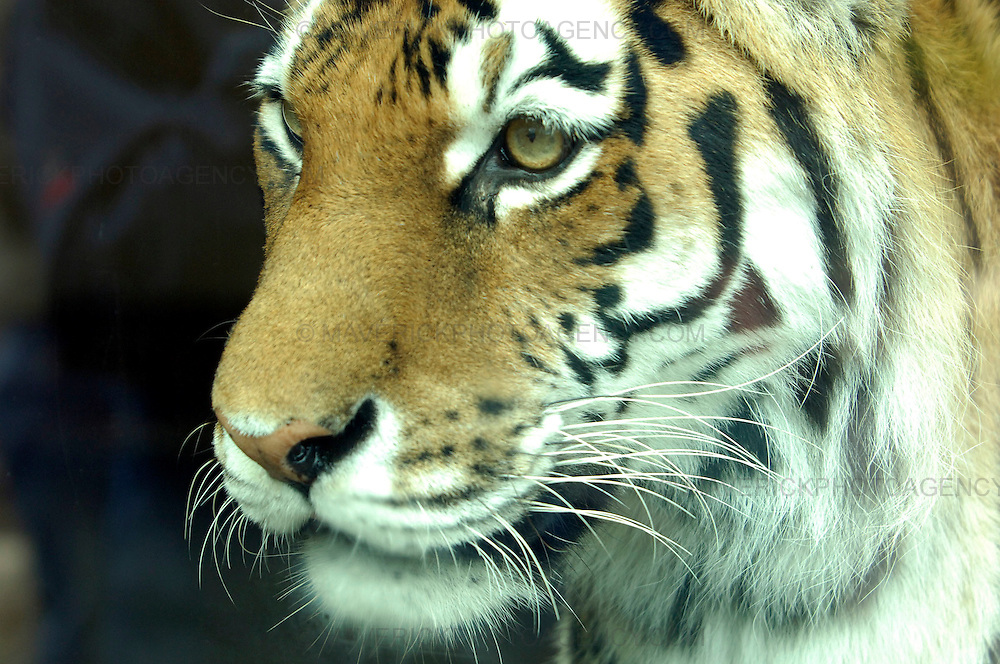 Following the arrival of a pair of rare Amur tigers at the Highland Wildlife Park in Kingussie, near Aviemore, Yuri and Sachi gave birth to three tiger cubs. ..Born on 11th May 2009 the tiger cubs, yet to be sexed or named are settling into their home. ..Picture shows the tiger cubs mother Sasha.