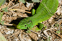 Westelijke smaragdhagedis, Lacerta bilineata