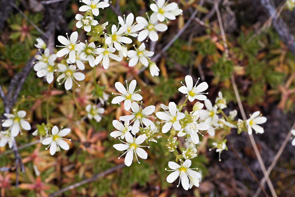 Closeup of Prickly Saxifrage in Chugach State Park, Eagle River in Southcentral Alaska. Spring. Morning.