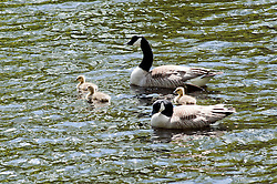 A family of Geese on Derwent Reservoir in the Peak National Park..http://www.pauldaviddrabble.co.uk.25 March 2012 .Image © Paul David Drabble