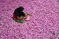 Inde, Uttar Pradesh, la ville des parfums où sont distillé les roses pour l'industrie du parfum, triage des roses // India, Uttar Pradesh, the city of perfumes where roses are distilled for the perfume industry, sorting the roses