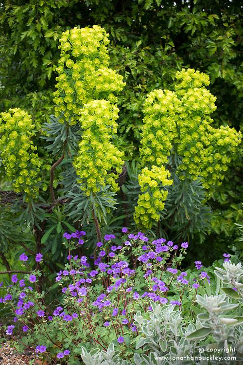 Geranium pyrenaicum 'Bill Wallis' (Mountain cranesbill) with Euphorbia characias subsp. wulfenii 'John Tomlinson'