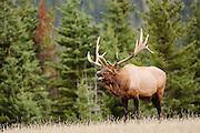 CANADA, Jasper National Park.Elk (Cervus elaphus) bugling