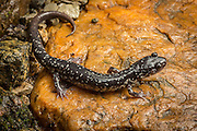 Northern slimy salamander (plethodon glutinosus) photographed at night near sugarloaf creek in the Cherokee National Forest, Tennessee.