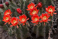 Claret Cup Cactus, Echinocereus occineus, Big Bend National Park, TX