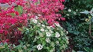 Rood verkleurende kardinaalsmuts met wit bloeiende viburnum.