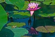 Frog on lily pad with blossom. Assiniboine Park<br /> Winnipeg<br /> Manitoba<br /> Canada