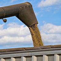 Barley harvest (Hordeum vulgare)