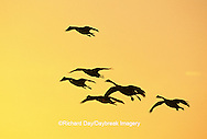 00748-03209 Canada Geese (Branta canadensis) in flight at sunset, Horicon NWR   WI