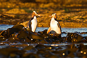 A pair of endangered yellow-eyed penguins socialize in the golden light after sunrise, before heading out to the ocean for the day's bounty of fish.  Curio Bay, Catlins, New Zealand.