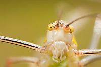 Grasshopper close-up of Phaneroptera spec, National Park Djerdab, Serbia